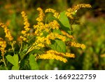 Small photo of The flower of the Solidago canadensis, known as Canada goldenrod