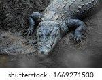 Big Marsh Crocodiles Closeup...