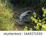 Big Marsh Crocodiles Near The...