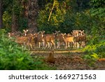 Large Number Of Spotted Deers...