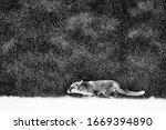 Red Fox Hunting  Vulpes Vulpes  ...