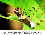 Larva Of Owl Butterfly Sitting...