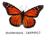Stock photo monarch butterfly isolated on white clipping path 16694917