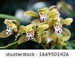 Beaterfull Cymbidium Magic...