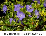Vinca Major  With The Common...