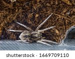 South Russian Bright Tarantula...