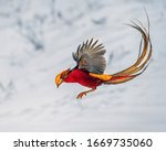 Golden Pheasant Foraging In The ...