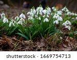 White Tender Flower Primrose...