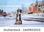 A Border Collie Puppy Sits Next ...