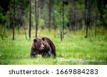 Wild Adult Male Of Brown Bear...