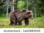 Brown Bear Walking On The Swamp ...