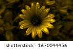 Golden Daisy With Raindrops....