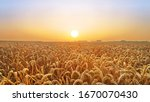 Golden Wheat Field At Sunset  A ...