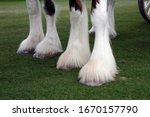 Nicely Trimmed Hoofs Of...