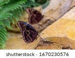 A Morpho Peleides Butterfly...