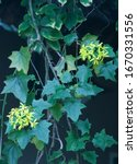 Canary Creeper With Small...