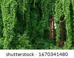 Wild Vineyard In The Forest ...