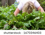 Woman Harvesting Fresh Beetroo...