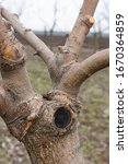 The Grafted Apple Tree  The...