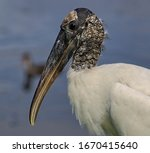 Wood Stork Head Shot With Water ...