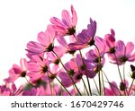 Cosmos Flowers  Pink Cosmos...