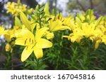 Yellow Lilies In Flower Garden