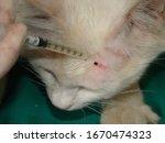 Small photo of Veterinarian , Parasite, tick, ticks. Parasite on the head of the white cat | Female tick on cat. Veterinarian pets. Veterinarian parasite . Veterinary medicine . Veterinary clinic. treatment Parasite