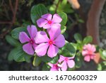 Catharanthus Roseus  Commonly...