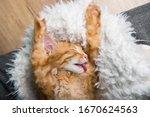 Funny Cat Licks Paw. Ginger...
