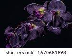 Violet Orchid Flower On Black...