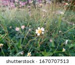 Flower and Wild plant Blackfoot Daisy, Rock Daisy, Plains Blackfoot, Arnica Asteraceae (Melampodium leucanthum) - low, round, bushy plant. Northeast, Thailand