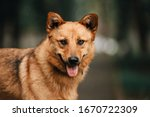 Red Mixed Breed Dog Portrait...