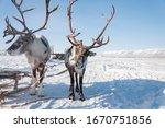 Portrait Of Northern Reindeer ...