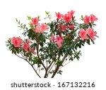 Azalea Blooming On Tree...
