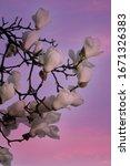 White Magnolia At The Dawn