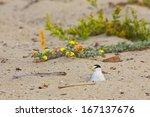 California Least Tern  Sternula ...