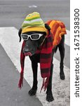 Dressed Dog With Glasses And A...