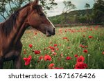 Beautiful Red Horse With Long...