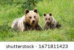 Female Brown Bear  Ursus Arctos ...