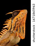 Small photo of Natalia's mountain horned dragon (Acanthosaura nataliae)