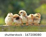 babies chicken on nature... | Shutterstock . vector #167208080