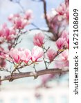 Pink Magnolia Trees In The...