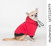Small photo of cute chihuahua cobby in red clothes on white background.
