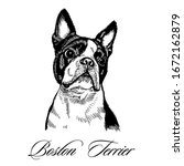 Boston Terrier Hand Drawn...