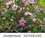 Beautiful flowering of hooked...