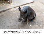Wild Pig In An Australia Zoo...