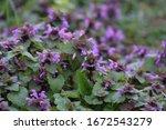 Purple Deadnettle On The...