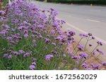 Bright Purple Verbena Beside...