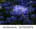 Agapanthus Field Macro...