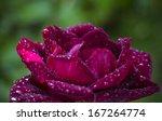 Beautiful Purple Rose Shot...